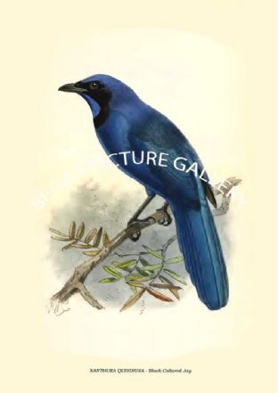 XANTHURA QUINDIUNA - Black-Collared Jay
